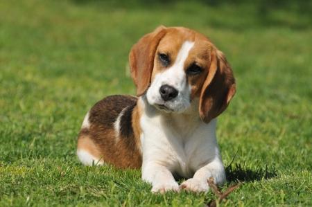beagle on meadow photo