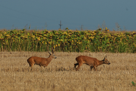 roebuck: roe deer in the field of wheat Stock Photo