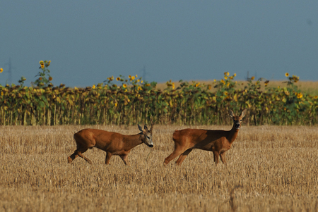 capreolus: roe deer in the field of wheat Stock Photo