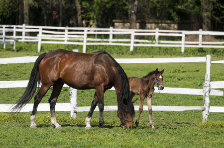 Foal with a mare on a summer pasture Banque d'images
