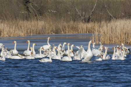 mute swan: Mute Swan Stock Photo