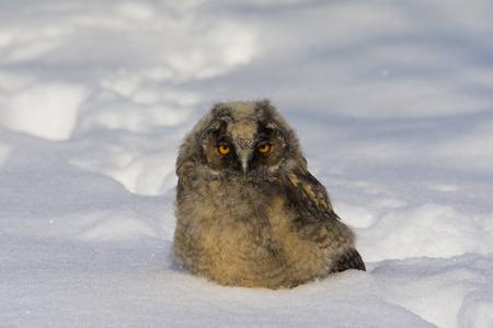 bird eating raptors: young owl