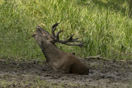 bellowing: Red deer stag