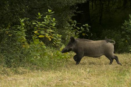 scrofa: Wild boar