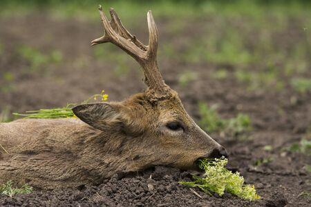 roe deer buck (capreolus capreolus)