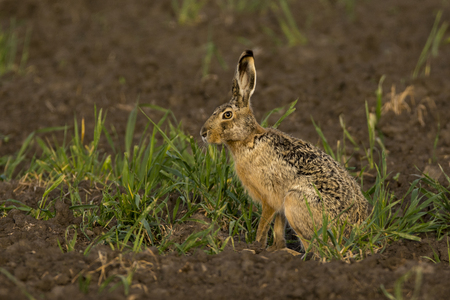 leporidae: European Wild rabbit Stock Photo