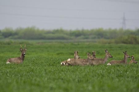 capreolus: Roe Deer Stock Photo