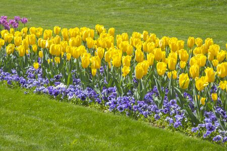 Filed of Colorful tulips with green leaves Stock Photo