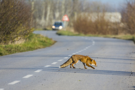 Fox on the road next forest Imagens