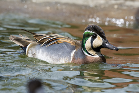 Wild duck on the water
