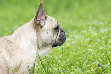 French bulldog on a grassy field Banque d'images