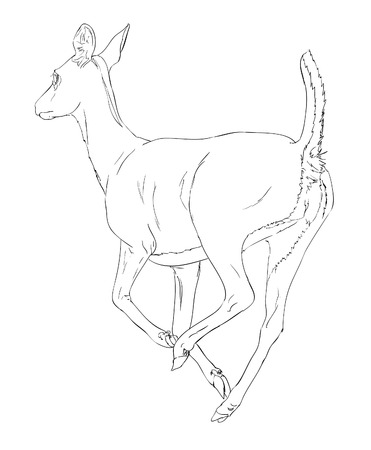 damhirsch: Doe Deer, Skizze Illustration