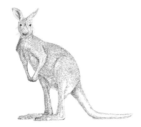 kangaroo white: Drawing of a kangaroo, isolated on white Illustration
