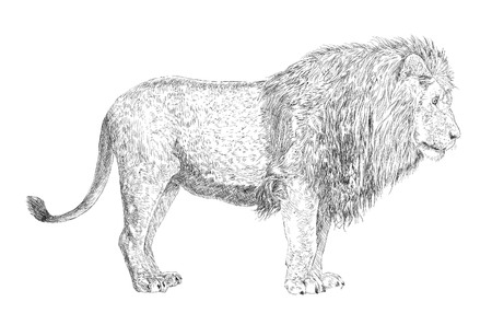 lion drawing: