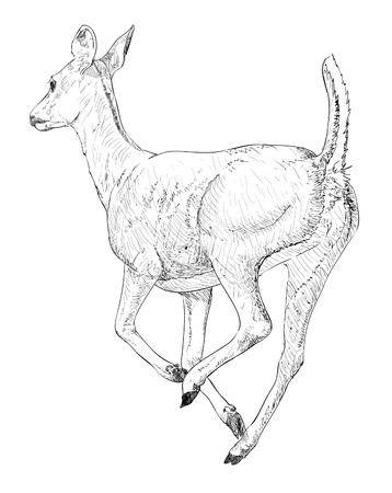 hoofed mammal: Doe Deer Illustration