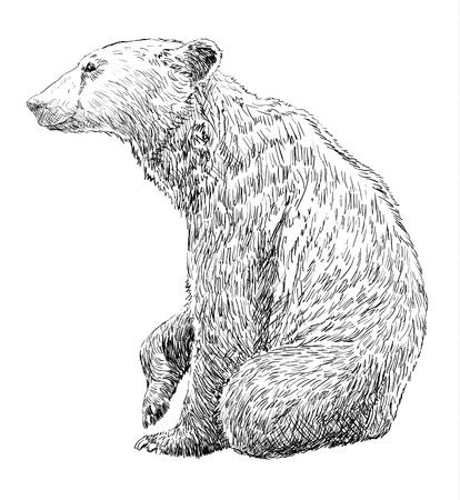 tundra: Brown Bear hand drawn on a white background