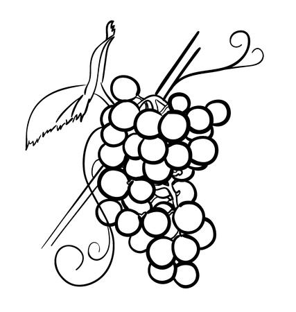 white grape: Vector illustration of grapes isolated on white background Illustration