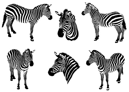 ruff: Zebras on a white background