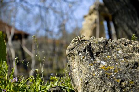 Een kleine bruine hagedis op de steen Stockfoto