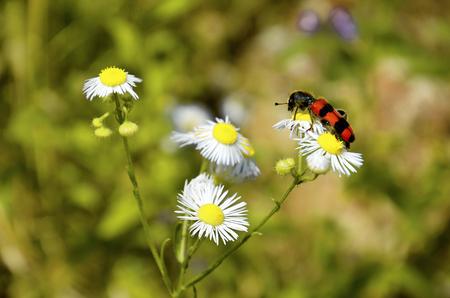 Insetto rosso e nero su un'erba curativa del fiore selvaggio bianco del prato Archivio Fotografico - 92436300