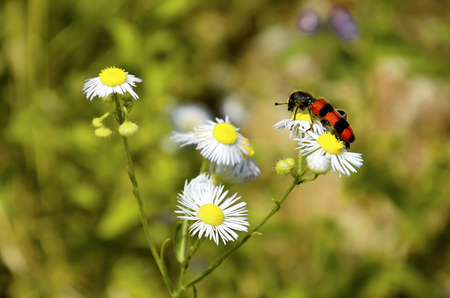 Red and black bug on a white wild meadow flower healing herb