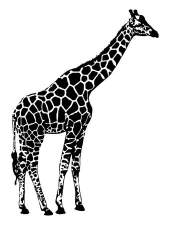 Gráficos de vetor do girafa na ilustração branca do fundo. Foto de archivo - 92477356