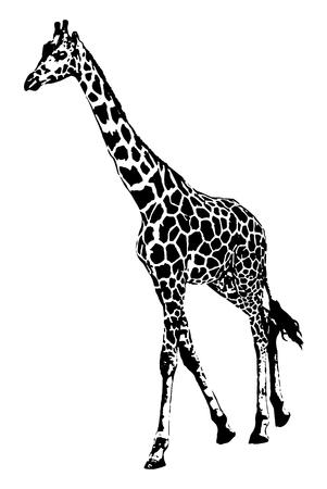 Gráficos de vetor do girafa na ilustração branca do fundo. Foto de archivo - 92477359