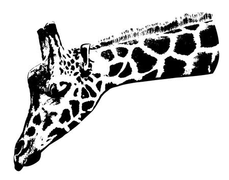 Ilustración de la cabeza de jirafa sobre fondo blanco. Foto de archivo - 92477363