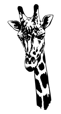 Illustrazione della testa della giraffa su fondo bianco. Archivio Fotografico - 92477361