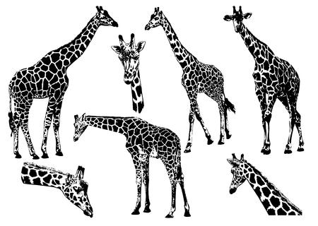 Raccolta delle giraffe sull'illustrazione bianca del fondo.