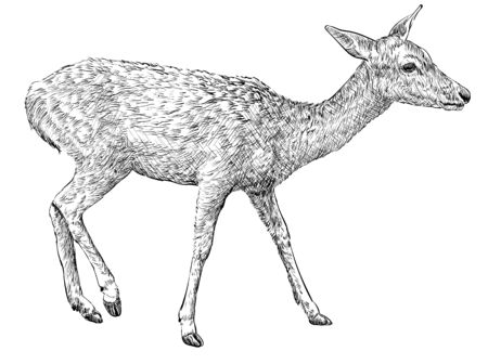 Female doe deer, hand drawn illustration Ilustração