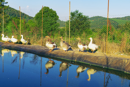 Domestic geese inside of fenced area with the pool for swimming on countryside farm 免版税图像