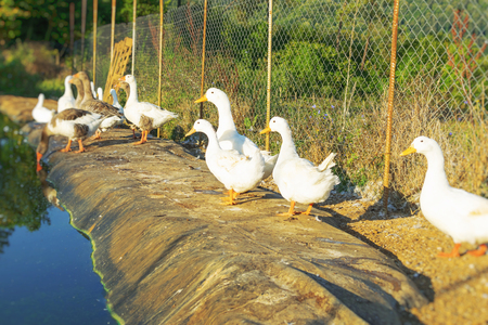 Domestic flock of white geese standing beside small pot inside fenced yard on the country farm