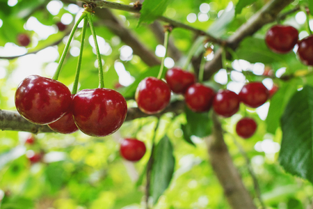 Fresh and shiny red cherries hanging on the tree on a warm summer day 免版税图像