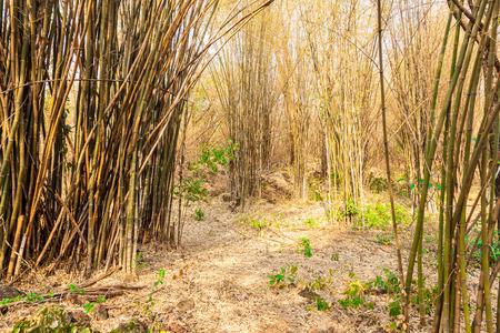sfondo giungla: Foresta di bamb�. Sfondo Jungle in Thailandia