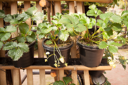 strawberry tree: Row of Strawberry Tree In Black Plastic Tree Pot