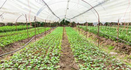 Las plantas jóvenes se cultivan en la casa verde