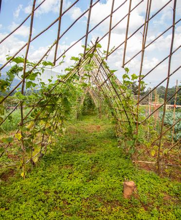 garden bean: vegetable garden, bean sprout ivy crutches and climbing up on bamboo