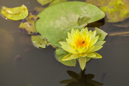 waterlilly: beautiful yellow lotus flowers with bee on garden Stock Photo