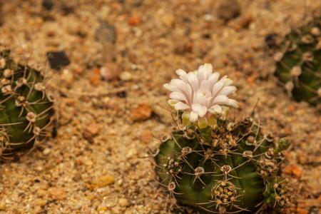 Cactus grows in sandy soil