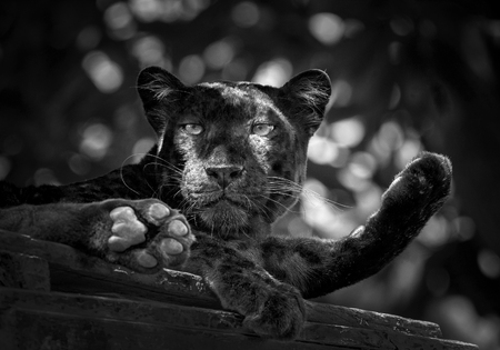 Panther or leopard.