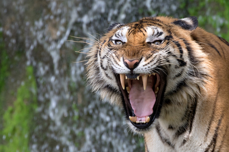 Tiger roaring. Stock Photo