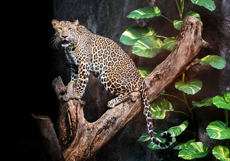 Leopard on the timber in the natural environment.