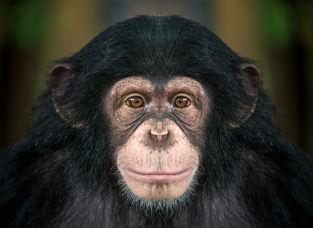 The face of chimpanzee
