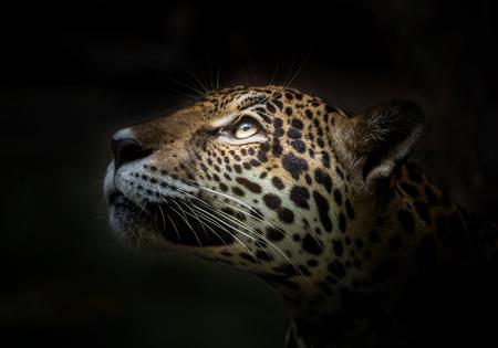 Leopard face on black background.