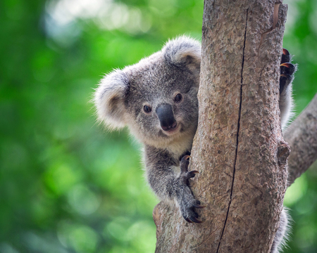 Baby koala  bears on the tree.