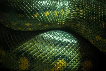 Textura y cuerpo de anaconda verde. Foto de archivo
