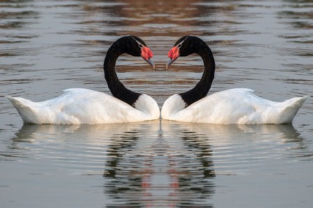 Black-necked swan in the lake water. Stock Photo