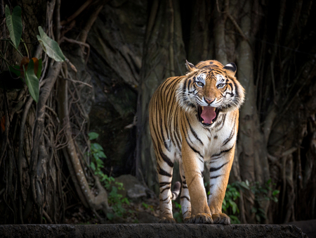 Tigre de Sumatra de pie en una atmósfera de bosque.