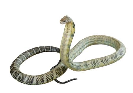 Cobra King on a white background. Stock Photo